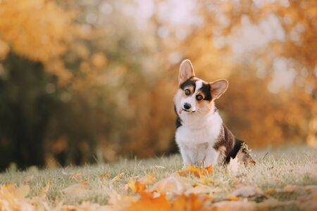Foto per Funny Tricolor Pembroke Welsh Corgi is in the fall leaves - Immagine Royalty Free