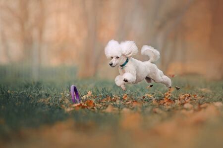 Photo for happy white poodle jumping after a toy outdoors - Royalty Free Image