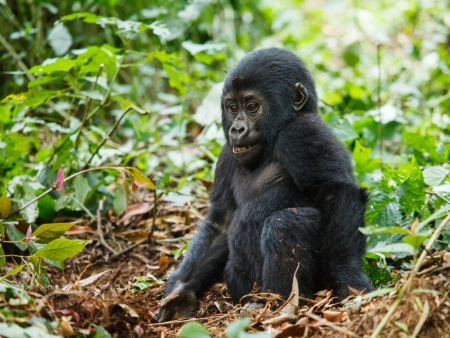 baby gorilla in wild on Uganda