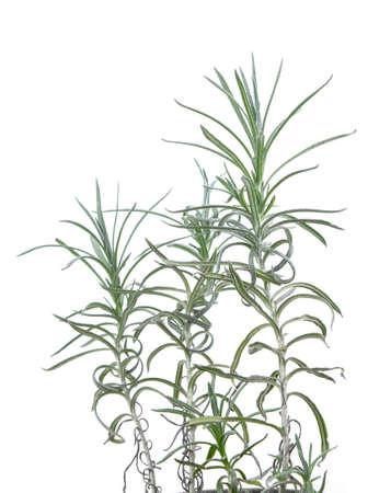 Photo for fresh rosemary isolated on white background - Royalty Free Image
