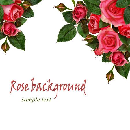 Photo pour Pink rose flowers composition on white background - image libre de droit