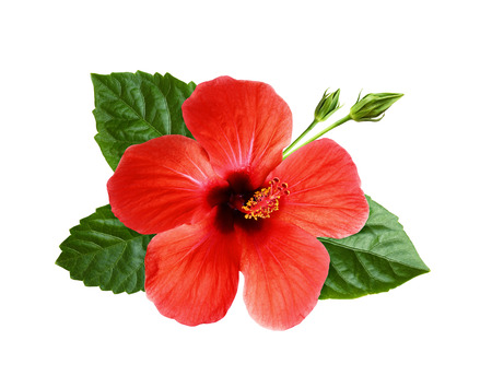 Photo for Hibiscus flower, green leaves and buds in floral tropical composition isolated on white - Royalty Free Image