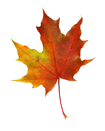 Photo pour Closeup of rorange autumn maple leaf isolated on white - image libre de droit
