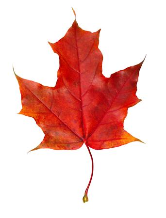 Photo pour Closeup of colorful autumn maple leaf isolated on white - image libre de droit