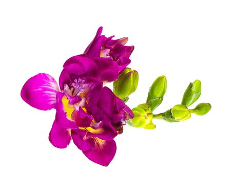 Foto für Pink and yellow freesia flower and buds isolated on white. Top view. - Lizenzfreies Bild