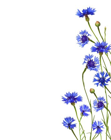 Photo for Blue knapweed flowers and buds in a floral border isolated on white background - Royalty Free Image