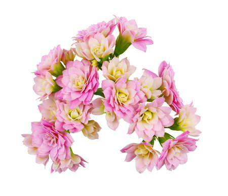 Photo pour Pink calanchoe flowers isolated on white - image libre de droit