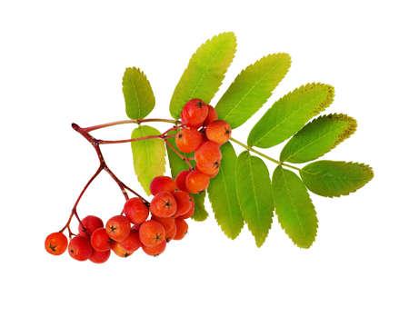 Foto für Red autumn rowanberries and leaves isolated on white - Lizenzfreies Bild