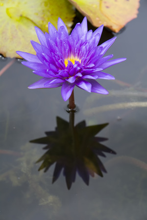 A single purple lotus with reflection on water