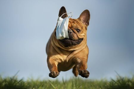 Photo pour dog French bulldog runs in the park with a mask of teeth after a pandemic - image libre de droit
