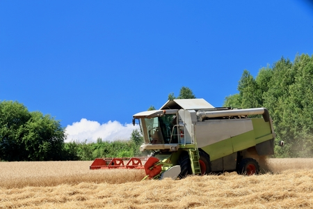Harvest of wheat of Biei hill