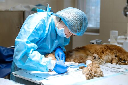 Photo for A vet surgeon brushes his dog's teeth under anesthesia on the operating table. Sanitation of the oral cavity in dogs. Dentist veterinarian treats teeth in a veterinary clinic. Veterinary Dentistry. - Royalty Free Image