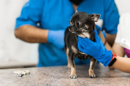 Veterinarians clean the paraanal glands of a dog in a veterinary clinic. A necessary procedure for the health of dogs. Pet care.