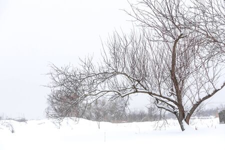 Photo pour Winter dry bare tree in the middle of a field in the snow. Winter landscape. - image libre de droit