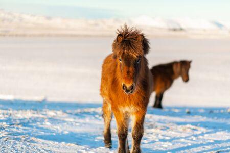 Photo pour Icelandic horse walks in the snow in winter. Icelandic winter landscape. - image libre de droit