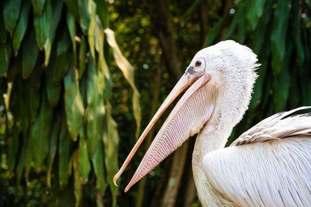 Photo pour A white pelican in a park sits on a fence close-up. Bird watching. - image libre de droit