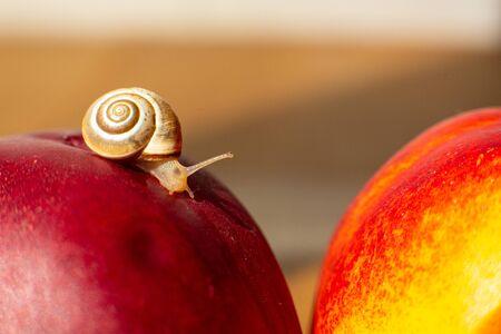Photo pour Little snail crawling on ripe red nectarines. - image libre de droit