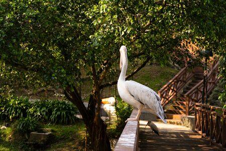 Photo pour The white pelican that lives in the bird park sits on the railing of the bridge. - image libre de droit