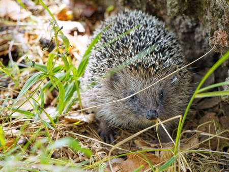 Face to face meet with a hedgehog in the forest. European hedgehog (Erinaceus europaeus), also known as the West European hedgehog or common hedgehog.