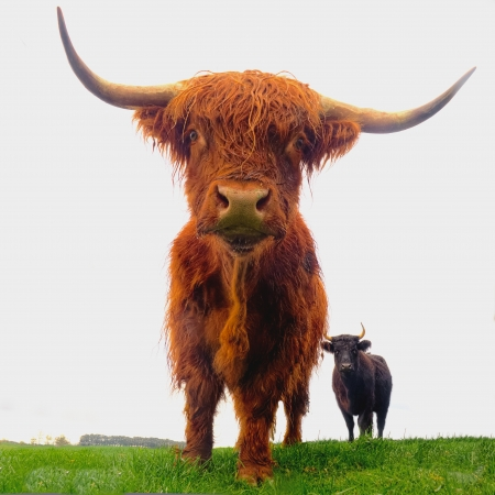isolated close up of highland cattle in australia