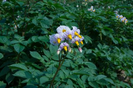 Potato flower closeup