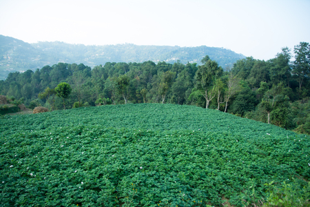Potato Green Farm Field