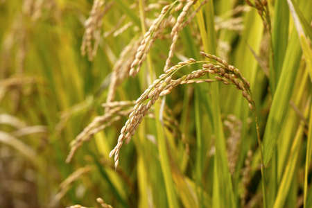 Photo pour ripening rice in a paddy field - image libre de droit