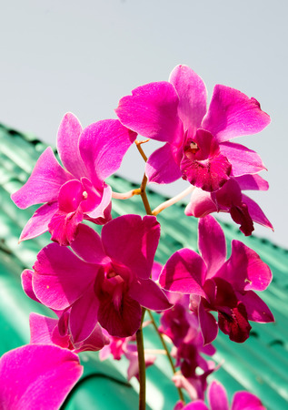 ORCHIDSの写真素材