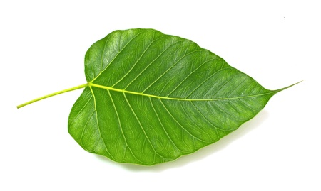 Green bodhi leaf vein on white background