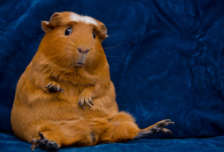 Funny guinea pig sitting in a funny pose on the dark blue background (with copy space on the right)の写真素材