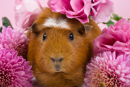 Foto de Cute funny guinea pig among beautiful pink flowers (against a pink background) - Imagen libre de derechos