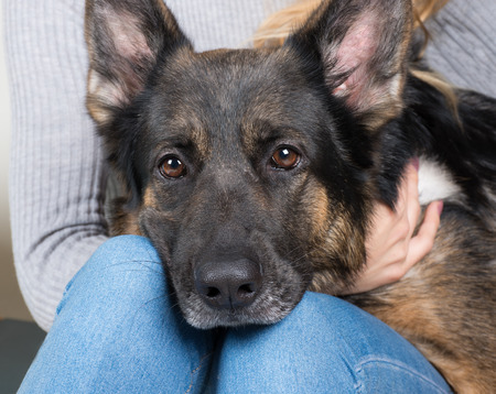 Photo pour Cute thoughtful German shepherd with its head on the lap of its owner - image libre de droit