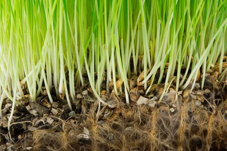 Photo pour Bright green grass and roots in the soil - image libre de droit