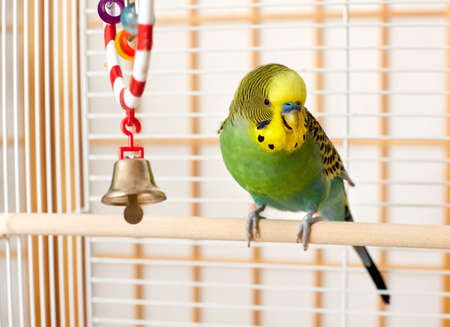 Photo pour Green and yellow budgie parakeet on his cage. - image libre de droit