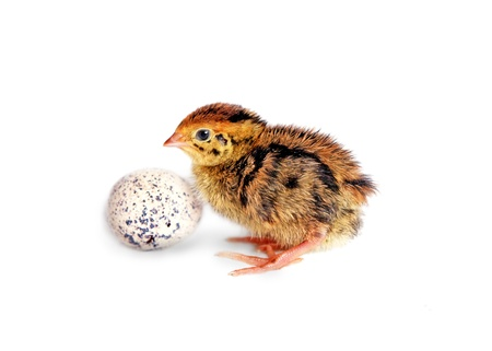 A quail chick and an egg isolated