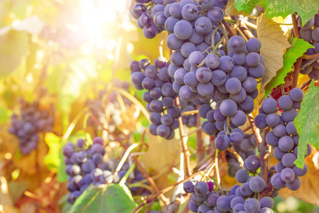 Ripe grapes ready for harvest in the sunlight