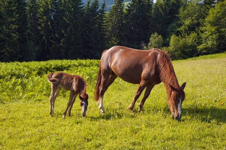 Photo pour Foal with horse mom on the farm graze. Brown mare and foal grazing together in the summer. - image libre de droit