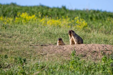 The marmot family looks out of the hole.