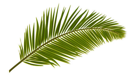 Illustration pour Green realistic palm leaves isolated on white. Palm branch for composing a collage. Vector illustration. - image libre de droit