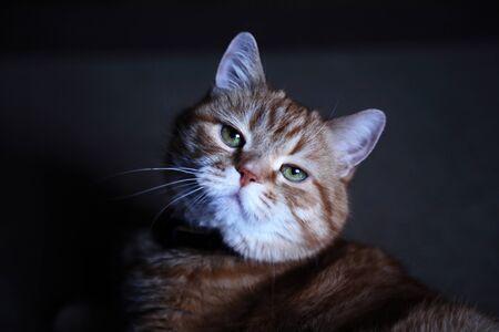Photo pour Nice ginger cat portrait against dark background - image libre de droit