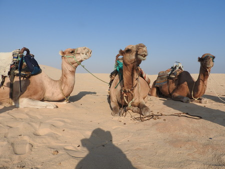 Photo pour the woman in the turban, the face is closed, with a camel in the Sahara desert - image libre de droit