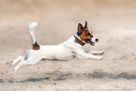 Foto de Jack russell terrier run and jump on beach - Imagen libre de derechos