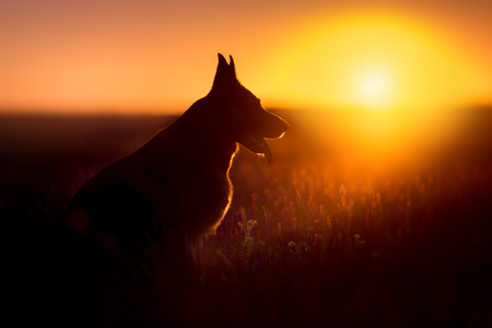 Photo for German shephard dog portrait silhouette at sunset - Royalty Free Image