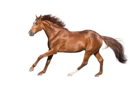 Photo pour Red horse run gallop isolated on white background - image libre de droit