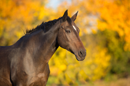Photo for Bay stallion in fall park - Royalty Free Image
