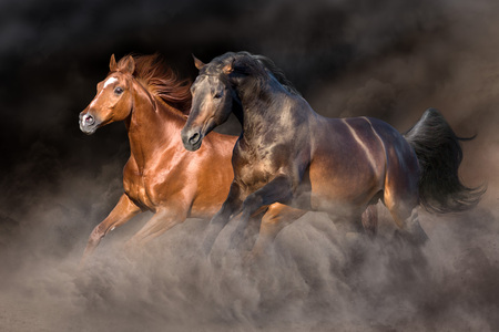 Foto de Two horse run gallop with dark background behind - Imagen libre de derechos