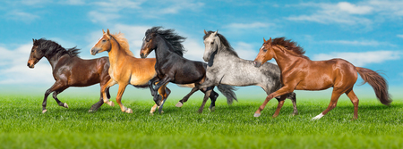 Photo pour Horses free run gallop i green field with blue sky behind - image libre de droit