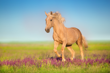 Cremello horse with long mane running through a meadow