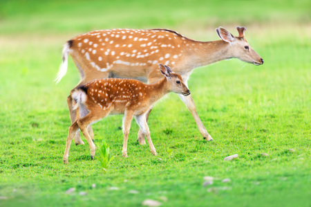 Photo pour Deer with baby in green field - image libre de droit