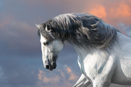 Foto de Andalusian horse with long mane run gallop close up - Imagen libre de derechos